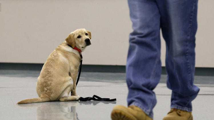 In this Nov. 26, 2012 photo, Dill, a veteran assistance dog in training, looks on as inmate John Barba walks away after commanding him to sit and stay during a demonstration at Western Correctional Institution in Cresaptown, Md. Dill is one of three dogs assigned since September to inmates at the maximum-security prison for basic training as service dogs for disabled military veterans. The inmates, who are also veterans, are among the state's first prisoners to join a national trend of training service dogs in correctional institutions. Professional trainers say prison-raised dogs tend to graduate sooner and at higher rates than those raised traditionally in foster homes because puppies respond well to the consistency and rigid schedules of prison life. (AP Photo/Patrick Semansky)