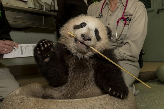 Panda Cub Gets New Toys