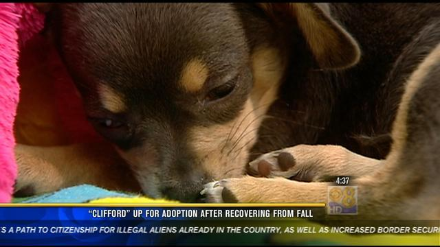 """Clifford"" up for adoption after recovering from fall"