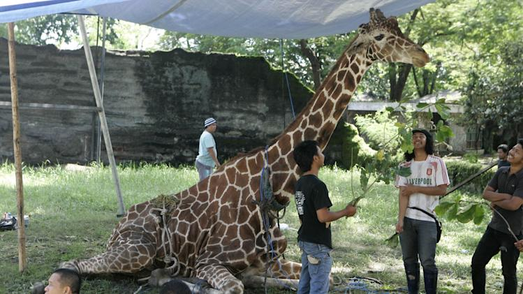 In this photo taken Thursday, March 1, 2012 photo, Kliwon, a 30-year-old male African giraffe, receives treatment from animal keepers at the Surabaya Zoo in Surabaya, East Java, Indonesia. The only giraffe at Indonesia's largest zoological garden has died late Thursday with pounds of plastic blob found in his stomach, Anthan Warsito, the spokesman of the zoo said Saturday. (AP Photo/Trisnadi)