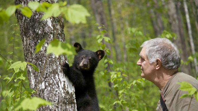 In this photo provided by Ben Kilham, Kilham is seen  inside his 8-acre forested enclosure with a bear cub, May 12, 2012 in Lyme, N.H. Ben Kilham is the state's only licensed bear rehabilitator. Typically he cares for three to five black bear cubs each winter. But when a bad year for feeding followed a good one for breeding, he ended up with 27 orphaned bears to to take care of for the winter. (AP Photo)