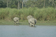 Grass towers as tall as an elephant in India's Kaziranga National Park.