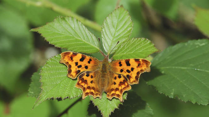 This undated handout photo provided by the Butterfly Conservation shows a Comma butterfly. A new study in Science shows that species across the world are moving further away from the equator and higher in elevation and doing so faster than before because of global warming. This is a photograph of a comma butterfly, which has moved north 135 miles in just 21 years in Great Britain. (AP Photo/Butterfly Conservation, Jim Asher)