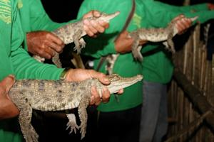 Rare Baby Crocs Released into Wild