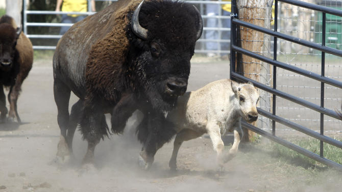 A rare white buffalo runs into a corral after a Native American naming ceremony was held in Greenville, Texas Wednesday, June 29, 2011.  The buffalo, named Lightning Medicine Cloud, was born to the Texas herd last month and holds a special place in Native American culture. (AP Photo/LM Otero)