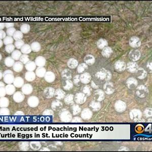 299 Sea Turtle Eggs Recovered From Poacher
