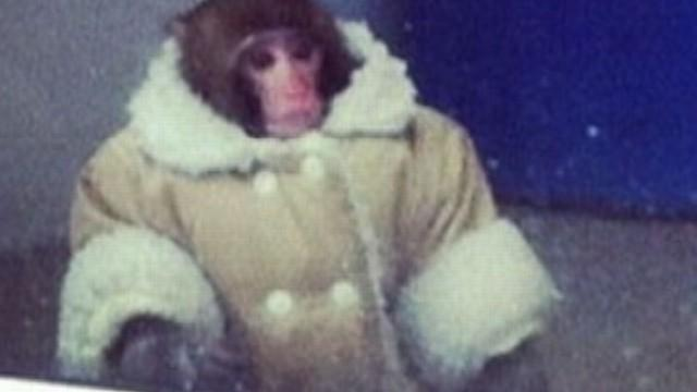 Ikea Monkey 'Darwin' Now Behind Bars