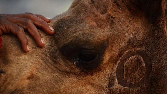 A baby suffered multiple fractures after being bitten on the head by a camel