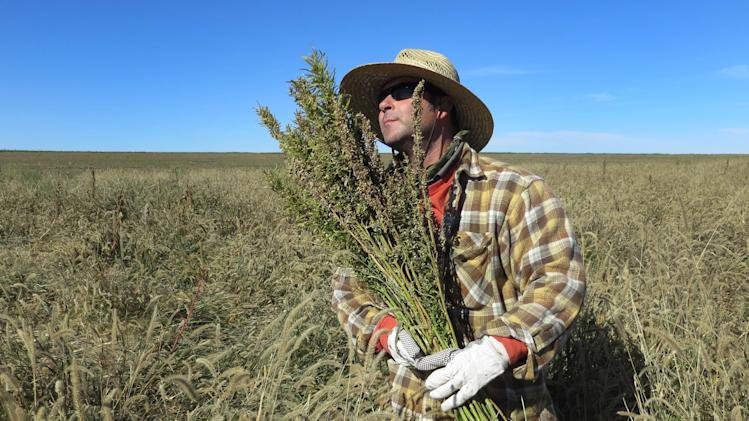 Hemp going legit; some wonder if pot is far behind
