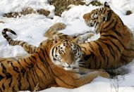 Two Siberian tigers (Panthera tigris altaica) at a zoo in Nanjing, east China&#39;s Jiangsu province last week. China defended its record on protecting endangered species Tuesday after an environmental group accused it of allowing the sale of captive-bred tiger skins and body parts