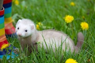 Weirdest sports around the world: Ferret legging
