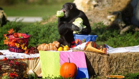 Chimps Have the Mental Capacity to Cook, Study Shows