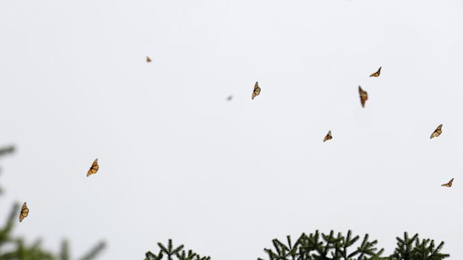 Monarch butterflies are seen flying in Angangueo