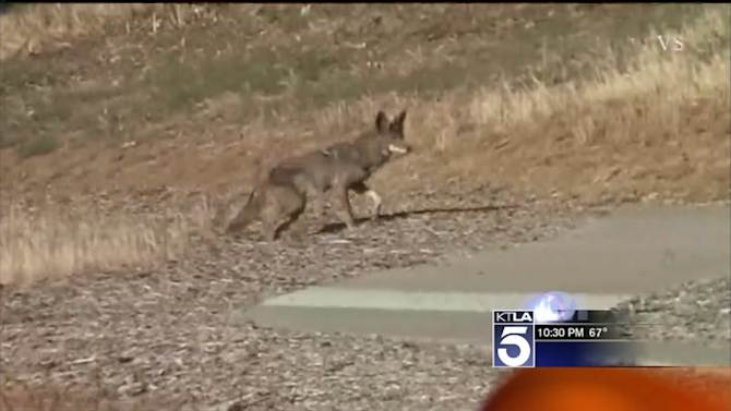 Seal Beach Council Authorizes Trapping, Killing Coyotes; Residents Pay Tribute to Dead Pets