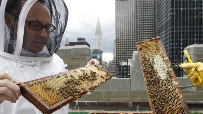 Waldorf Astoria hotel sous chef Josh Bierman inspects honey bees residing in hives on the hotel's 20th floor roof in New York, Tuesday, June 5, 2012.  The hotel, a favorite of numerous U.S. presidents, plans to harvest its own honey and help pollinate plants in the skyscraper-heavy heart of the city, joining a mini beekeeping boom that has taken over hotel rooftops from Paris to Times Square. (AP Photo/Kathy Willens)
