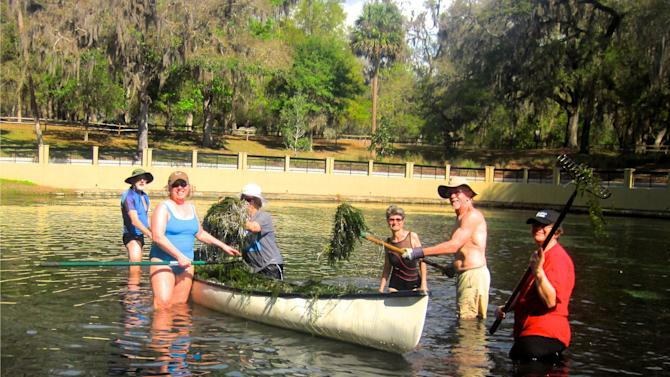 In this March 2013 photo provided by Chuck Morlock, volunteers remove hydrilla from Salt Spring in the Ocala National Forest, during a work week organized by the Sierra Club, in Silver Springs, Fla. Hydrilla, a non-native species, adversely impacts aquatic ecosystems. The quick-growing plants form a dense canopy that prevents other vegetation from receiving sunlight. (AP Photo/ Charles Morlock)