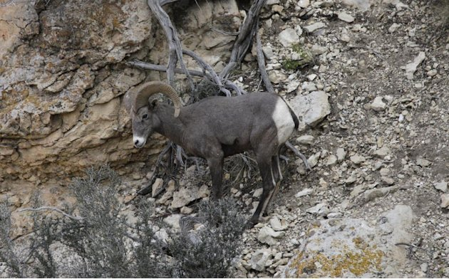This Monday Oct. 22, 2012, photo shows a long horn sheep near the Bright Angel Trail on the South Rim of the Grand Canyon National Park in Arizona. Search engine giant Google is using the Trekker, a n