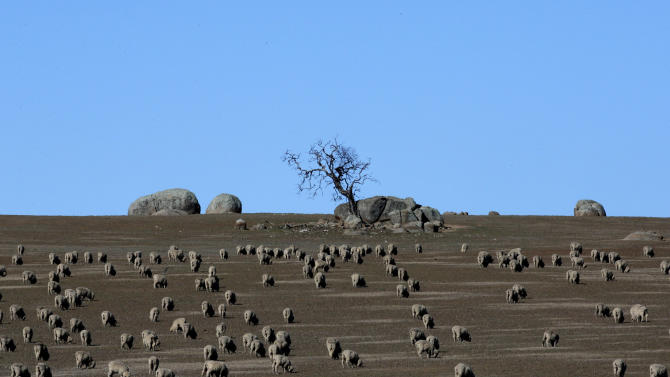 In this May 24, 2013 photo, hundreds of sheep graze in a paddock outside the town of Griffith, 573 kilometers (356 miles) from Sydney, Australia, during a seven-day, 3,000-kilometer (1,900-mile) journey across the Outback. (AP Photo/Rob Griffith)