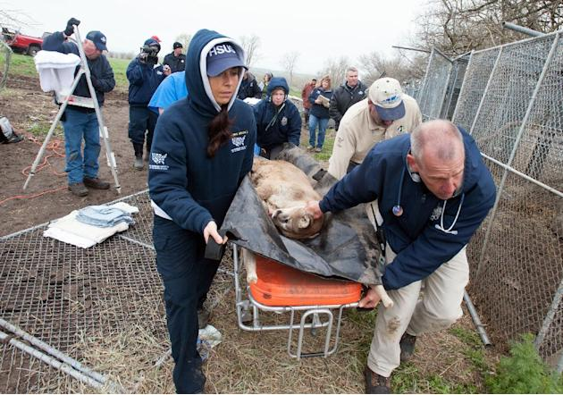 In this May 5, 2013, photo provided by the Humane Society of the United States staff members of the HSUS and the Kansas City Zoo move a sedated mountain lion from a menagerie of wild cats in Atchison,