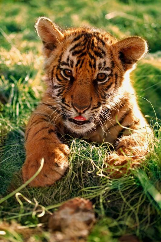 A two month old Indian tiger cub.