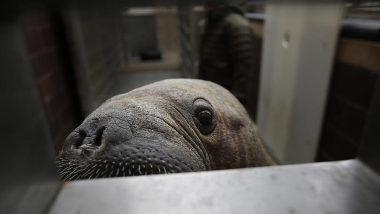 Mitik, a baby walrus who survived the flooding of his enclosure during Superstorm Sandy, checks out visitors at the Wildlife Conservation Society's New York Aquarium in Coney Island, New York, Monday, March 25, 2013.  (AP Photo/Seth Wenig)