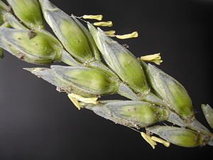 300px WheatFlower1 Cropcast Headlines: Wheat Pushed into Dormancy