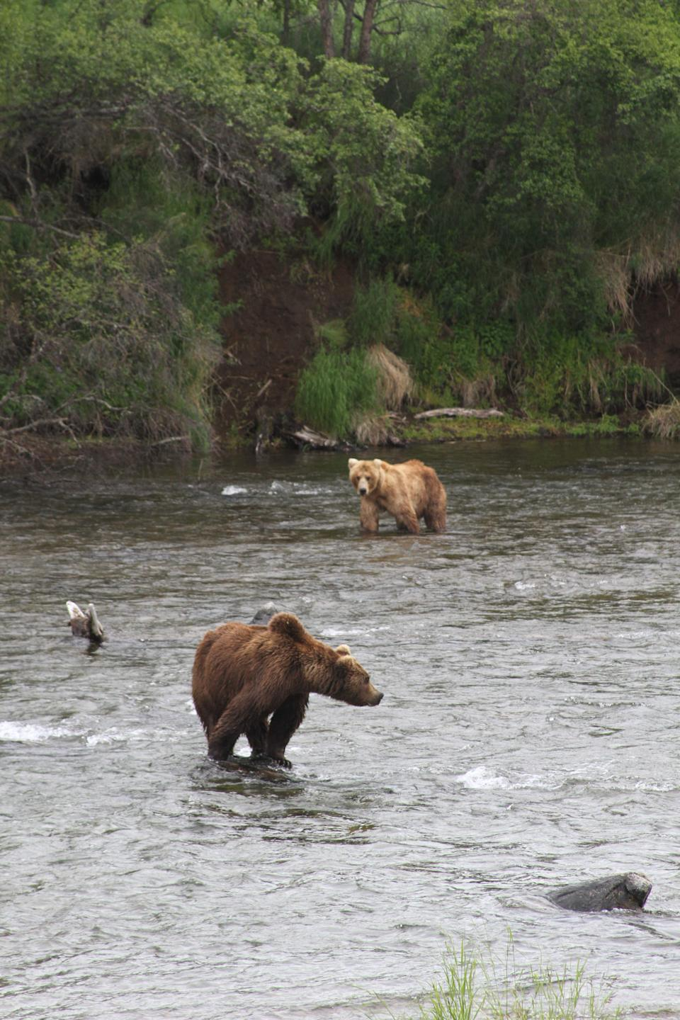Two brown bears scan the river looking for salmon at Katmai National Park and Preserve, Alaska on July 4, 2013. (AP Photo/Mark Thiessen)
