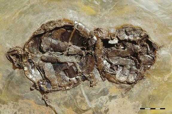 Coitus Interruptus: Ancient Turtle Sex Fossilized