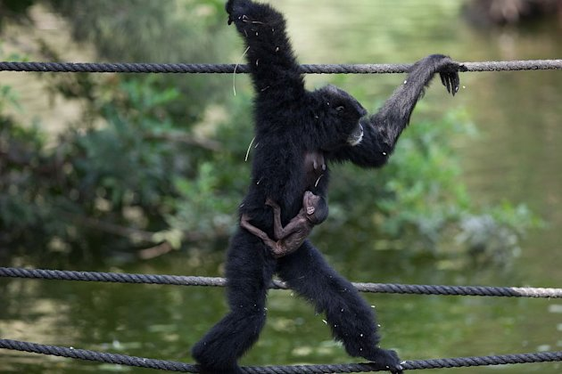 Siamang Gibbon with baby, Israel