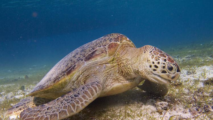 This undated photo taken by Marjolijn Christianen of the Radboud University of Nijmegen and released by University of Queensland, shows a green turtle at the bottom of the sea in the waters off Derawan Island, East kalimantan, Indonesia. Green sea turtles remain a rare sight in many parts of the world, but one Indonesian island tasked with protecting them is now being overrun by far too many. New research suggests that the gentle endangered creatures are crowding into a marine reserve in numbers never recorded anywhere, gobbling seagrass to the point that they risk destroying the food source that's vital to their survival. (AP Photo/University of Queensland, Marjolijn Christianen) NO ARCHIVE, NO SALES