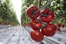 Sweet Science: Tomato Genome Bears Fruit