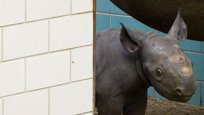 Four-day-old rhinoceros Akili stands in its enclosure as it is presented to the media for the first time in the zoo in Berlin, August 10, 2012. The female black rhino cub weighs about 30 kg and is its mother's fourth off-spring. REUTERS/Thomas Peter