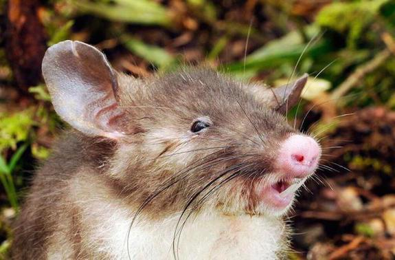 This Pig-Nosed Rat with Vampire Teeth Will Haunt Your Dreams