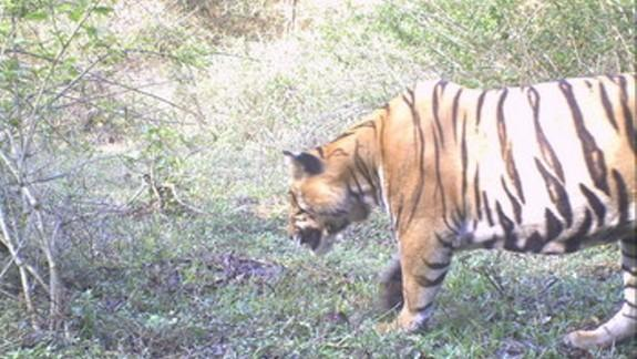 Cameras Capture Tigers Trekking Through Wildlife Corridor