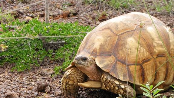 Poaching Pushes 2 Madagascar Tortoises to Brink