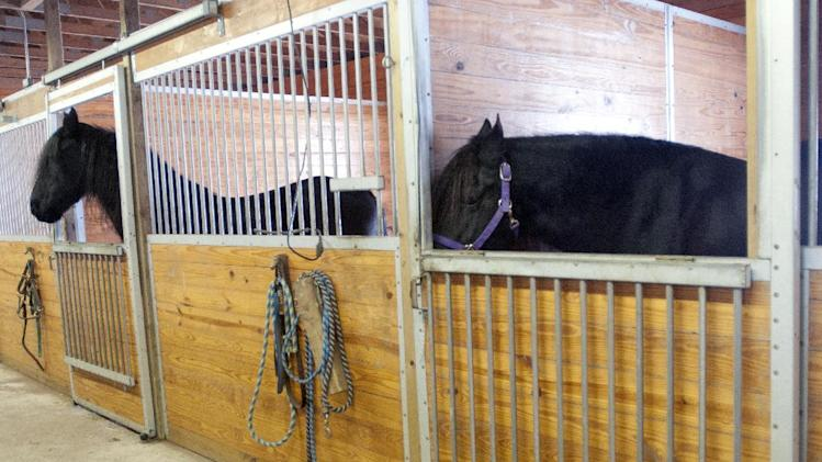 "Mariska, right, a Friesian horse that belongs to Sandy Bonem of Larkin Township, Mich. in Midland County, starts to open the door to her stall in her stable.  Mariska learned to open latches at Misty Meadow Farms and she's been nicknamed ""Houdini Horse"" by the Midland-area's farm owners Sandy and Don Bonem. A YouTube video Sandy Bonem posted has more than 700,000 views. (AP Photo/The Saginaw News, Jeff Schrier) ALL LOCAL TV OUT; LOCAL TV INTERNET OUT"