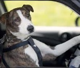 Seriously? New Zealand SPCA Teaches Dogs To Drive Cars