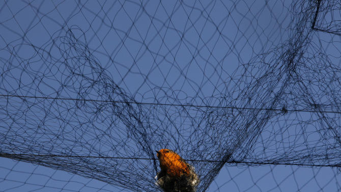 Cyprus jobless turn to illegal songbird trapping