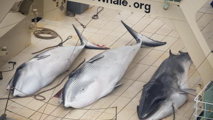 Three Minke whales are pictured on the deck of the Japanese whaling vessel Nisshin Maru in what is claimed by Sea Shepherd Australia to be an internationally recognised whale sanctuary
