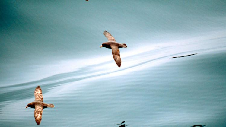 A Northern Fulmar flies over calm seas. Bering Sea, Aleutian Islands, Alaska. © Kevin Schafer / WWF-Canon