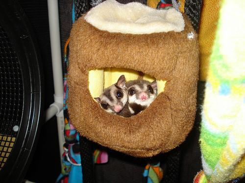 Are you ready for TWO sugar gliders?