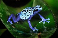 A blue poison dart frog, Surinam (Caters)