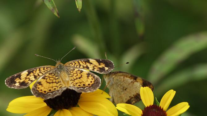 In this August 2006 photo provided by Iowa State University, a Phyciodes tharos butterfly is seen at Reiman Gardens, at Iowa State University in Ames, Iowa. (AP Photo/Iowa State University, Nathan Brockman)