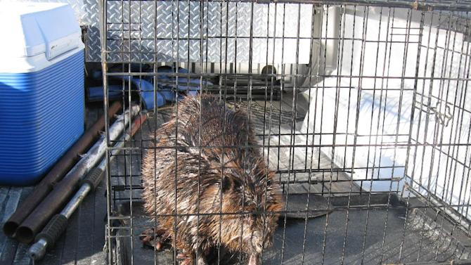 This photo provided by the Wildlife Rehabilitation Center of Northern Utah shows a beaver conservation officer Mitch Lane caught and transported after they were caught in the Chevron pipeline diesel fuel spill at Willard Bay State Park to the Wildlife Rehabilitation Center of Northern Utah on Tuesday, March 26, 2013. (AP Photo/Wildlife Rehabilitation Center of Northern Utah)