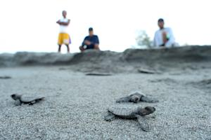 Olive ridley sea turtle hatchlings make their way to …