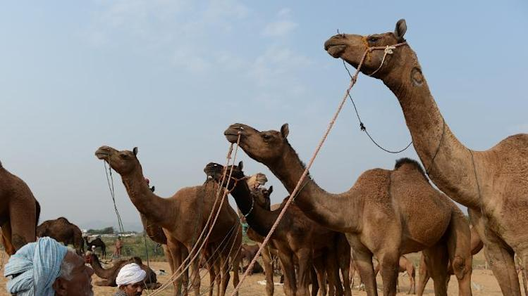 Traders are seen with their camels at the annual fair grounds in Pushkar, on November 8, 2013