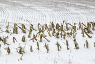 In this Dec. 28, 2012 photo, corn stalks stand in a snowy field near La Vista, Neb. Despite getting some big storms in December, much of the U.S. is still desperate for relief from the nations longest dry spell in decades. And experts say it will take an absurd amount of snow to ease the woes of farmers and ranchers. (AP Photo/Nati Harnik)