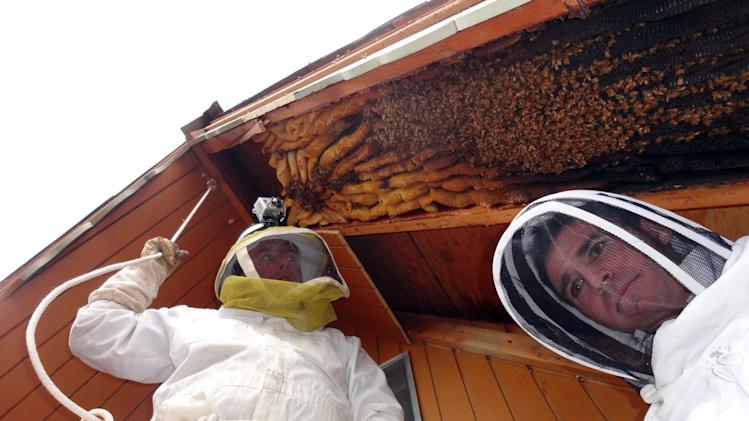 In this early April 2013 photo provided by Ogden beekeeper Vic Bachman, Bachman, left, and partner Nate Hall prepare to remove a 12-foot-long beehive from an A-frame cabin in Eden, Utah. It was the biggest beehive the Utah beekeepers have ever removed, containing about 60,000 honeybees. (AP Photo/Courtesy Vic Bachman)