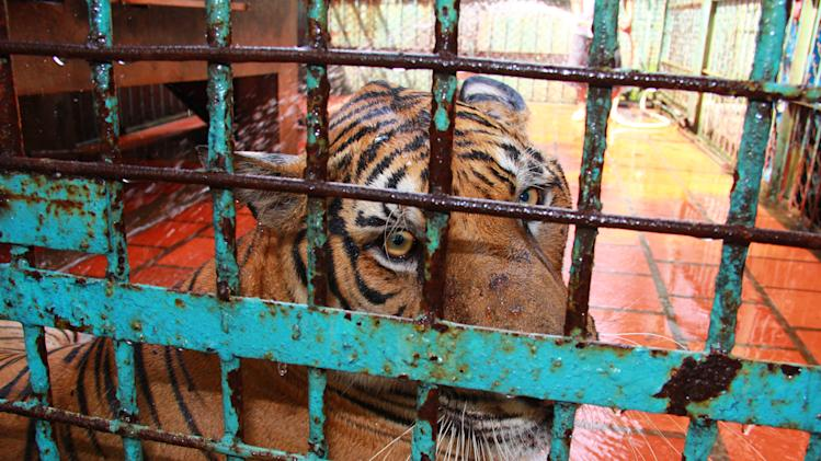 "In this photo taken on July 4, 2012, a tiger sits in a cage at a tiger farm in southern Binh Duong province, Vietnam. The Switzerland-based conservation group WWF said in a report Monday, July 23, 2012 that Vietnam's 2007 decision to legalize tiger farms on a pilot basis has ""undermined"" its efforts to police illegal trade in tiger products. (AP Photo/Mike Ives)"