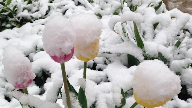 Snow covers spring flowers in Denver on Monday, May 12, 2014. A spring storm that has brought over a foot of snow to parts of Colorado, Wyoming and Nebraska and thunderstorms and tornadoes to the Midwest was slowing down travelers and left some without power Monday morning. (AP Photo/Ed Andrieski)